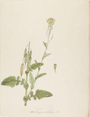 Sinapis trilocularis R., watercolour on paper