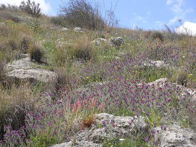 Echium judaeum
