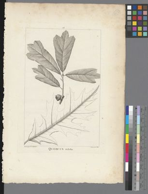 Quercus triloba, uncoloured engraving on paper