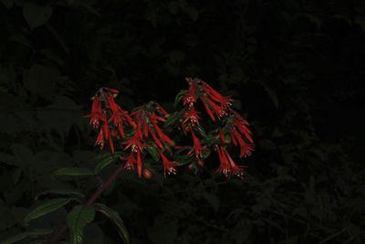 FuchsiaPlum. ex L.