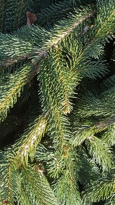 Picea abies 'Aarburg'