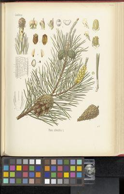 Pinus silvestris, Köhler