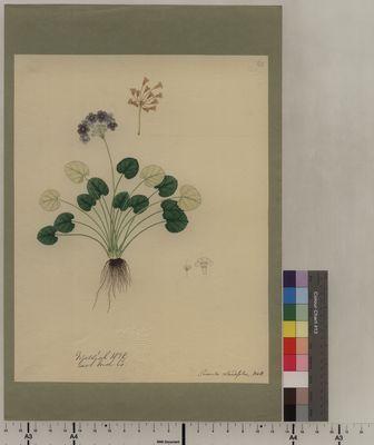 Primula rotundifolia (63)