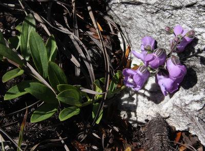 Angelonia eriostachys Benth.