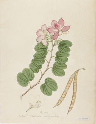 Bauhinia variegata Willd., watercolour on paper