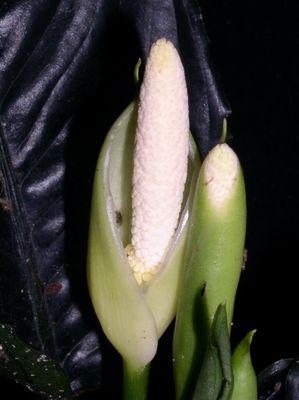 Aglaonema simplex 2