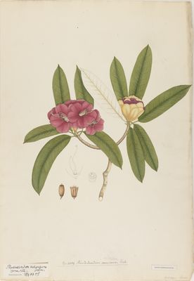 Rhododendron puniceum R., watercolour on paper
