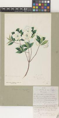 Azalea sp. nov. (ovata)