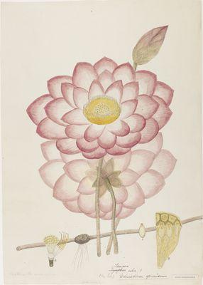 Nelumbium speciosum Willd., watercolour on paper (Nelumbo nucifera)