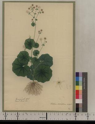 Thalictrum rotundifolium (84)