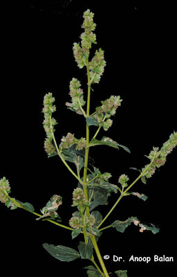 Pogostemon benghalensis