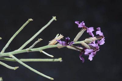 Matthiola fruticulosa