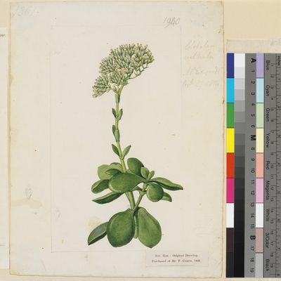 Crassula cultrata original illustration from Curtis's Botanical Magazine