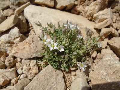 Minuartia libanotica (Boiss.) Bornm.
