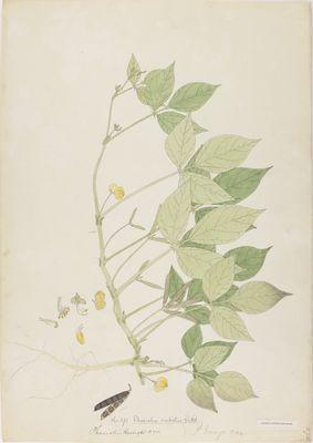 Phaseolus radiatus Willd., watercolour on paper