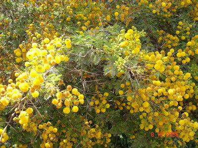Vachellia nilotica(L.) P.J.H.Hurter & Mabb.