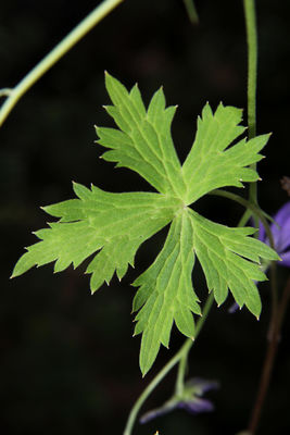 Delphinium bicornutum