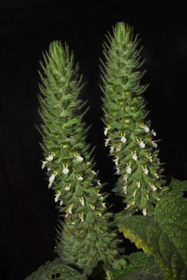Teucrium stachyophyllum