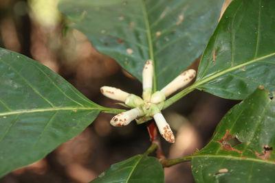 Alibertia claviflora (K.Schum.) Kuntze