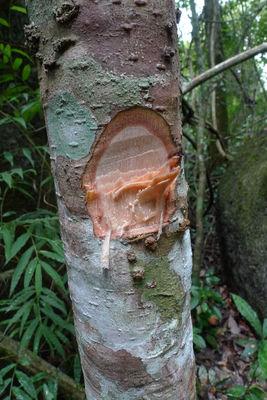 Geissanthus ambiguus (Mart.) G.Agostini