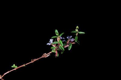 Lythrum gracile