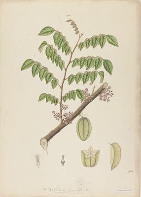 Averrhoa carambola Willd., watercolour on paper
