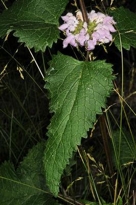 Phlomoides tuberosa