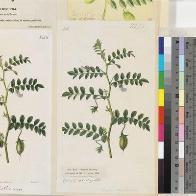 Cicer arietinum original illustration from Curtis's Botanical Magazine
