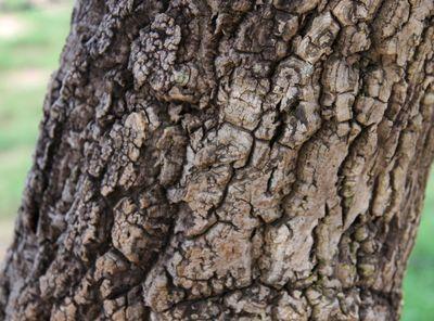 Annona crassiflora Mart.