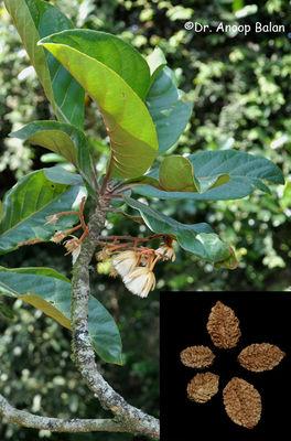 Elaeocarpus tuberculatus