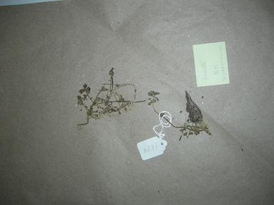 Bacopa serpyllifolia (Benth.) Pennell