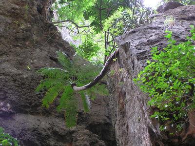 Cycas clivicola