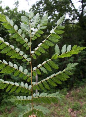 Dilodendron bipinnatum Radlk.