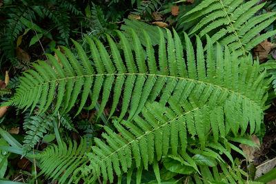 Amauropelta loreae