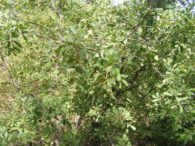 Quercus pubescens 'Pendula'