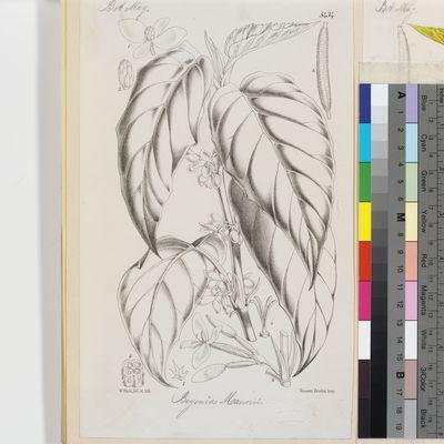 Begonia mannii published illustration from Curtis's Botanical Magazine
