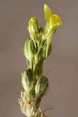 Linaria tenuis