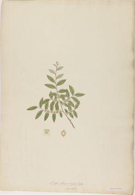 Ulmus virgata R., watercolour on paper