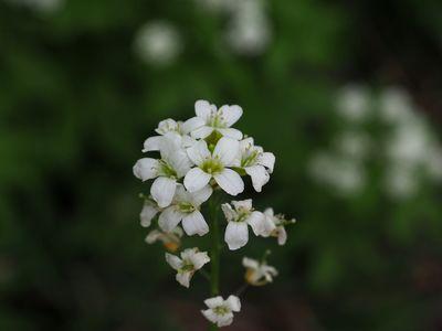 Cardamine leucantha