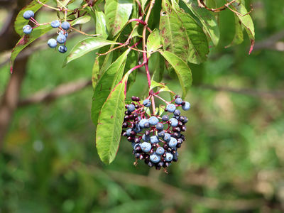 Fuchsia arborescens Sims