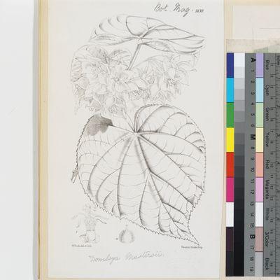 Dombeya mastersii Hook.f. published illustration from Curtis's Botanical Magazine