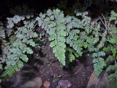 Asplenium laciniatum