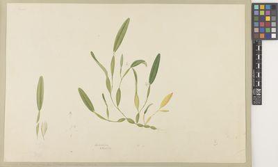 Dendrobium/Flickeringia/Ephenerantha
