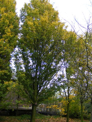 Acer campestre 'Green Weeping'