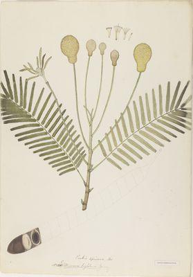 Mimosa biglobosa Jacq., watercolour on paper