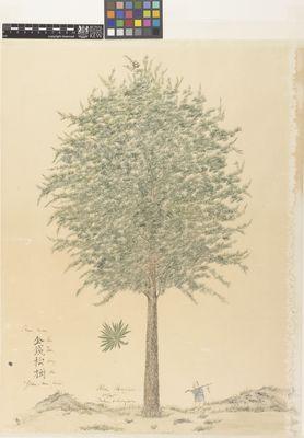 Abies kaempferi 'Golden coin-pine'