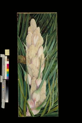 Male Inflorescence and Foliage of a Screw Pine, Natal