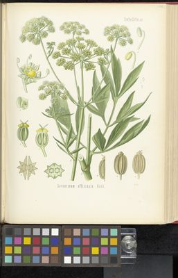 Levisticum officinale, Köhler