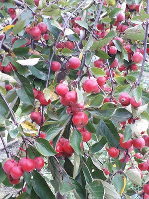 Malus 'Richard's Requiem'