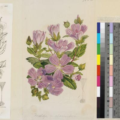 Malope malacoides Willd. original illustration from Curtis's Botanical Magazine